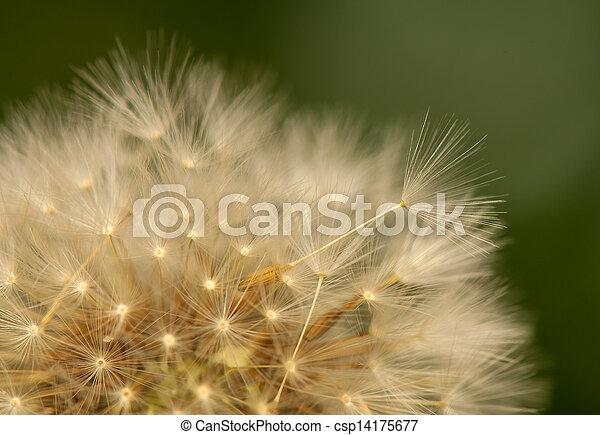 Dandelion - csp14175677