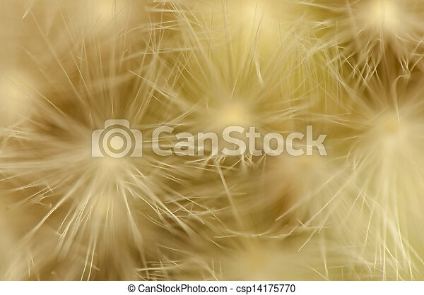 Dandelion - csp14175770