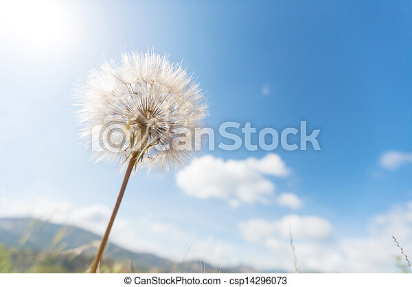 Dandelion - csp14296073