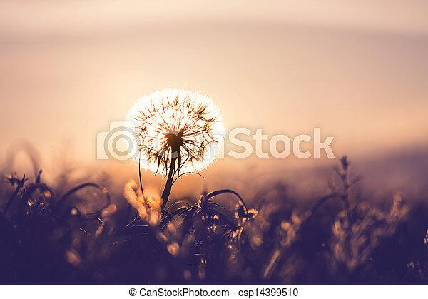 Dandelion - csp14399510