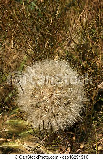 dandelion - csp16234316