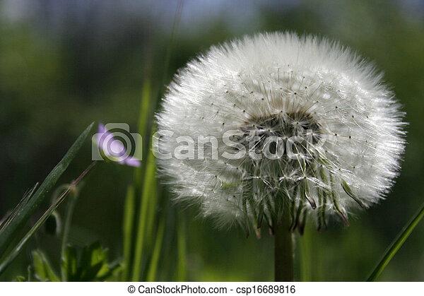 Dandelion - csp16689816