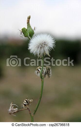 dandelion - csp26796618
