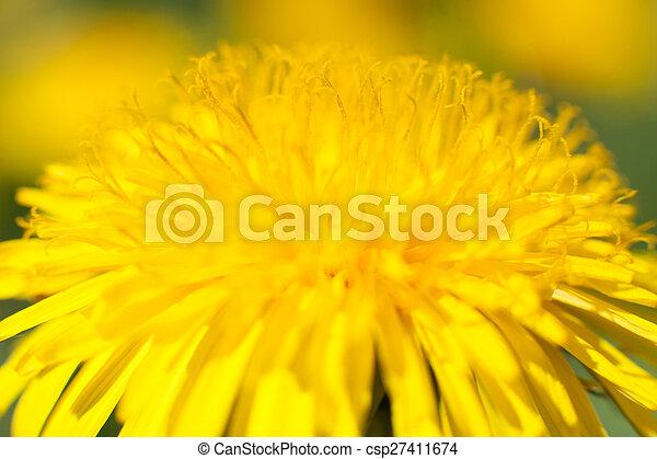 dandelion - csp27411674