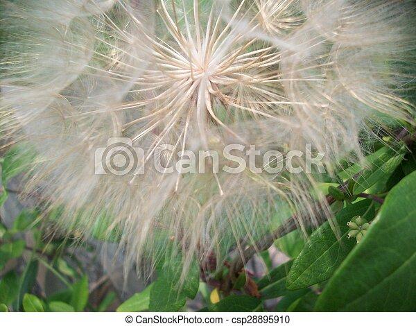 Dandelion - csp28895910