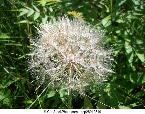 Dandelion - csp28910510