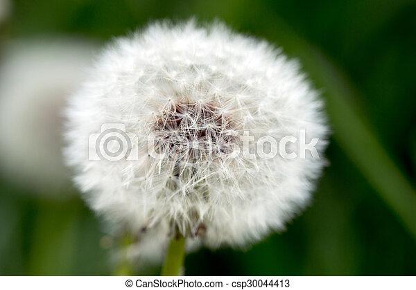 Dandelion - csp30044413