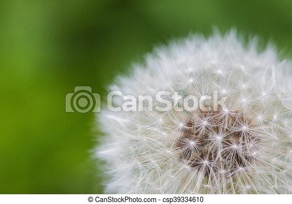 Dandelion - csp39334610