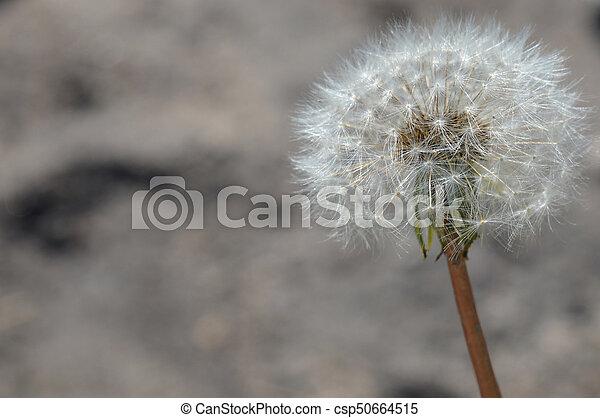 Dandelion - csp50664515