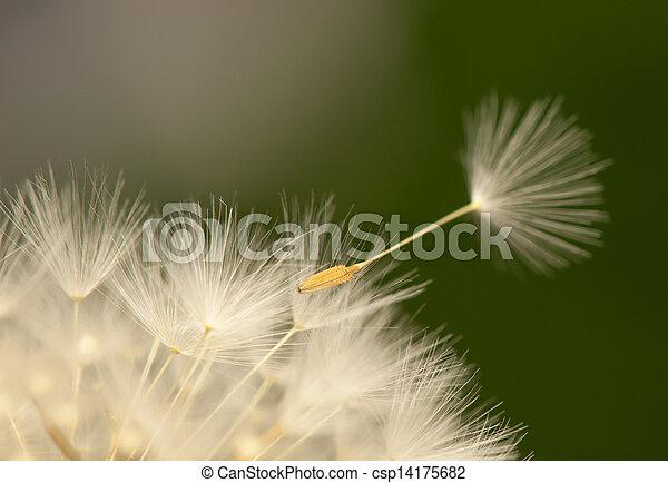 Dandelion - csp14175682