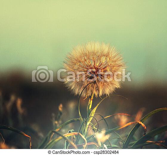 Dandelion - csp28302484