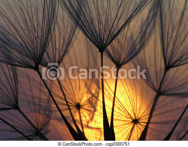 Dandelion seed - csp0300751