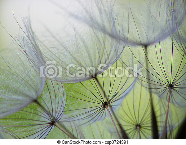 dandelion seed - csp0724391