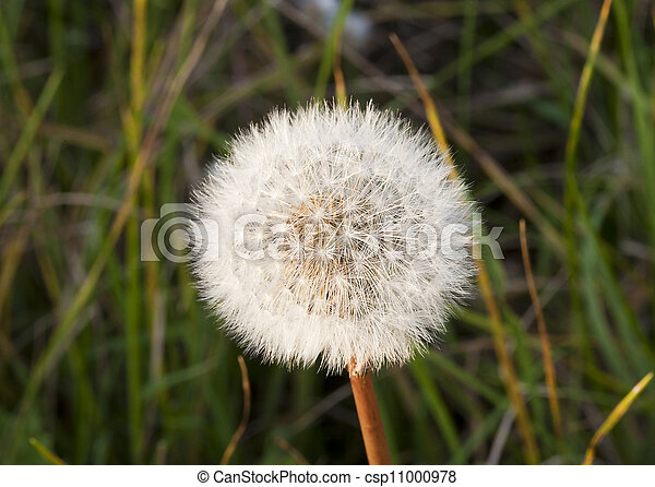 Dandelion Seed - csp11000978