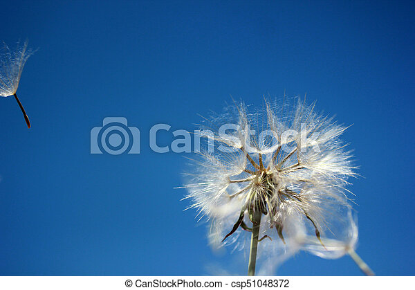 Dandelion Seed - csp51048372