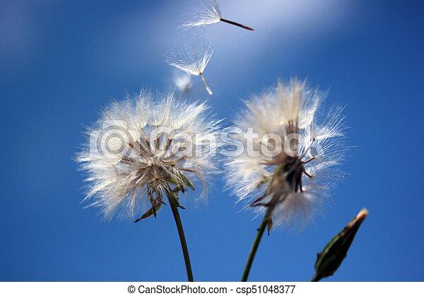 Dandelion Seed - csp51048377