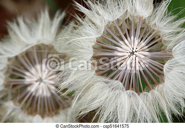 Dandelion Seed - csp51641575
