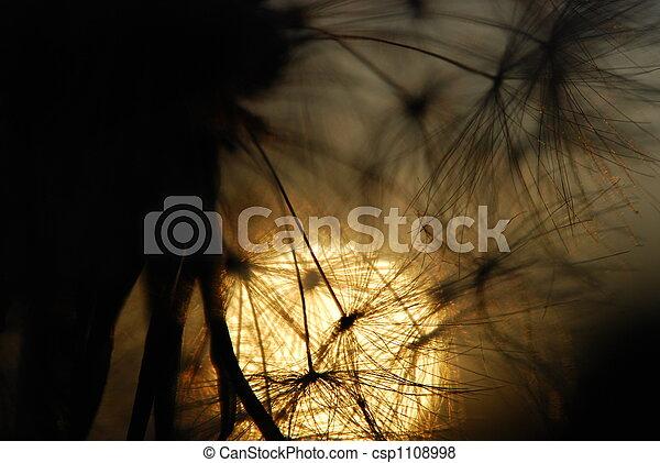 dandelion seed - csp1108998