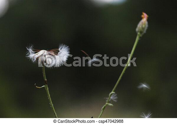 Dandelion Seed - csp47042988