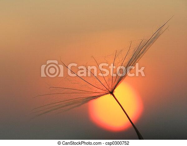 Dandelion seed - csp0300752