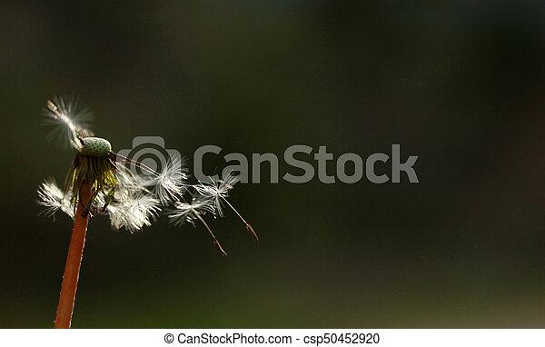 dandelion seed - csp50452920