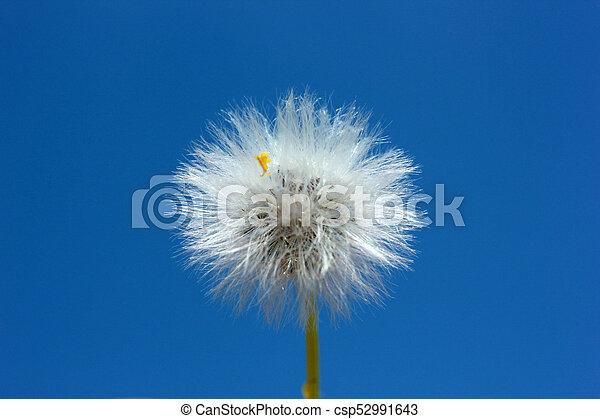 Dandelion Seed - csp52991643