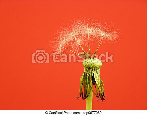 dandelion seed - csp0677969