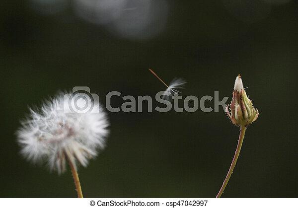 Dandelion Seed - csp47042997