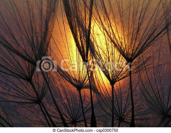 Dandelion seed - csp0300750