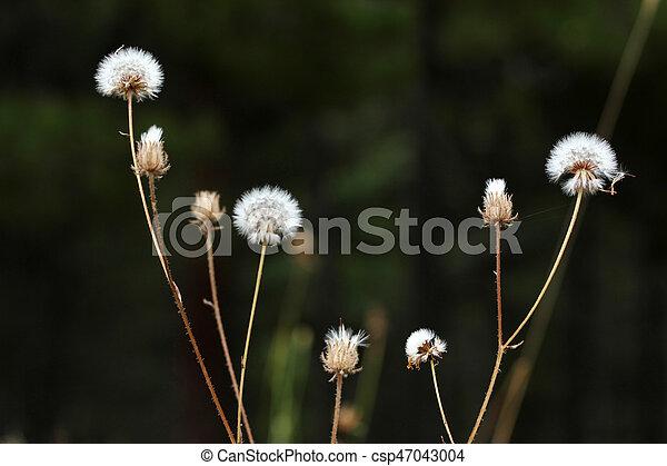 Dandelion Seed - csp47043004
