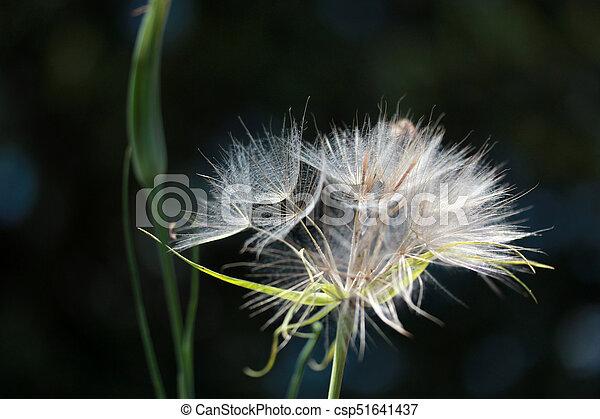 Dandelion Seed - csp51641437