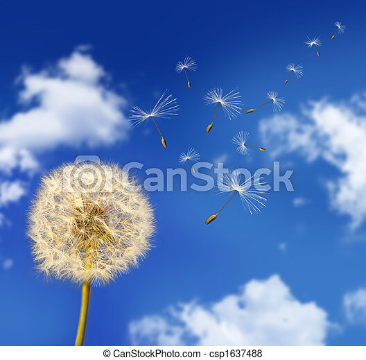 Dandelion seeds blowing in the wind - csp1637488