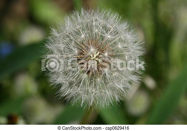 dandelion - csp0629416