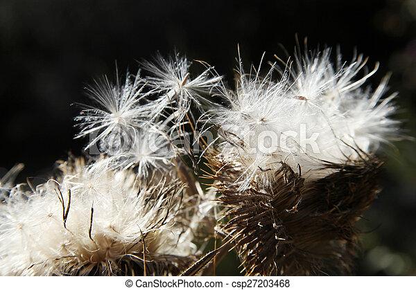 Dandelion - csp27203468
