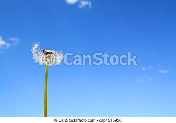dandelion - csp4515956