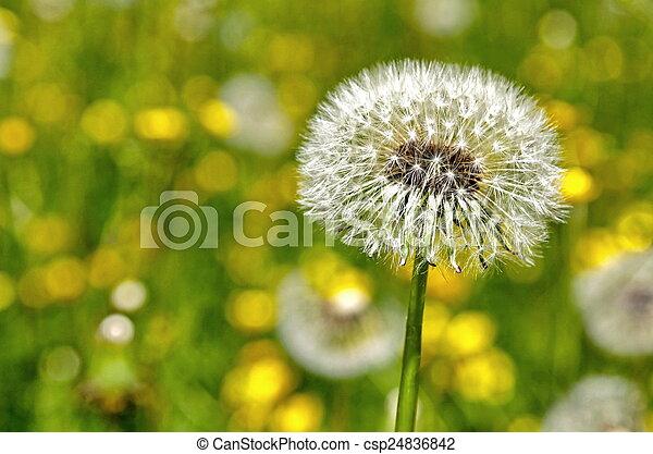 Dandelion - csp24836842