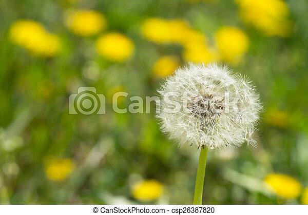 Dandelion - csp26387820