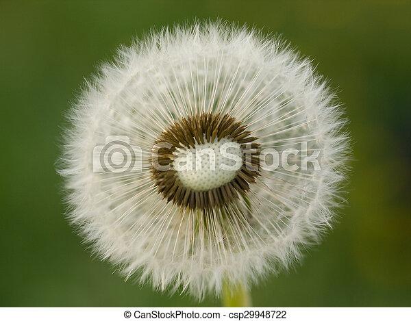 Dandelion - csp29948722