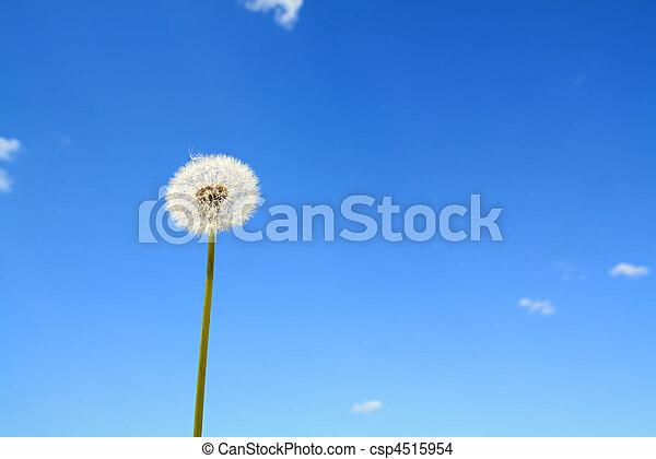 dandelion - csp4515954