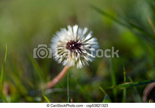 Dandelion - csp53821323
