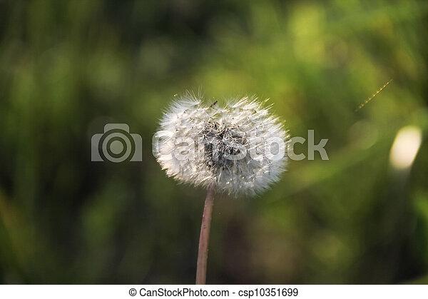 dandelion - csp10351699