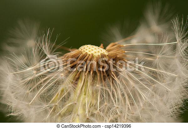 Dandelion - csp14219396