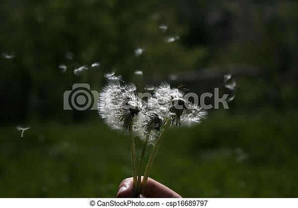 Dandelion - csp16689797