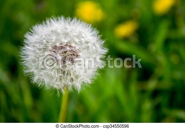 dandelion - csp34550596
