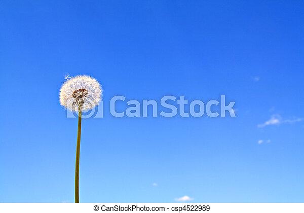 dandelion - csp4522989