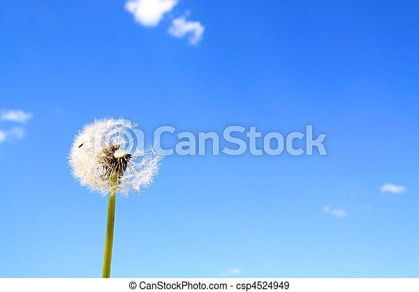 dandelion - csp4524949