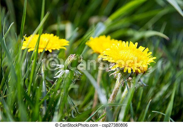Dandelion - csp27380806
