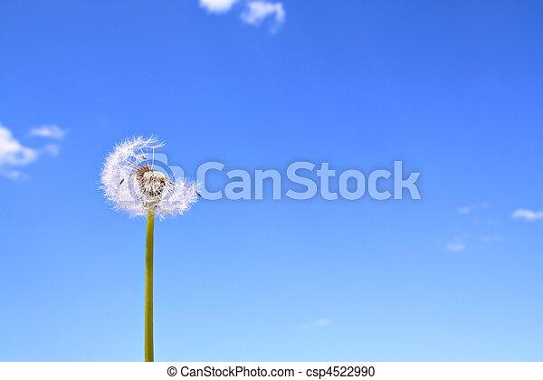 dandelion - csp4522990