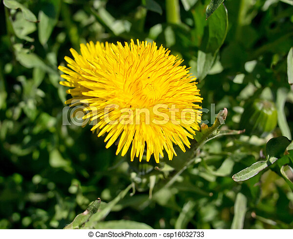 dandelion - csp16032733