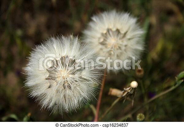 dandelion - csp16234837